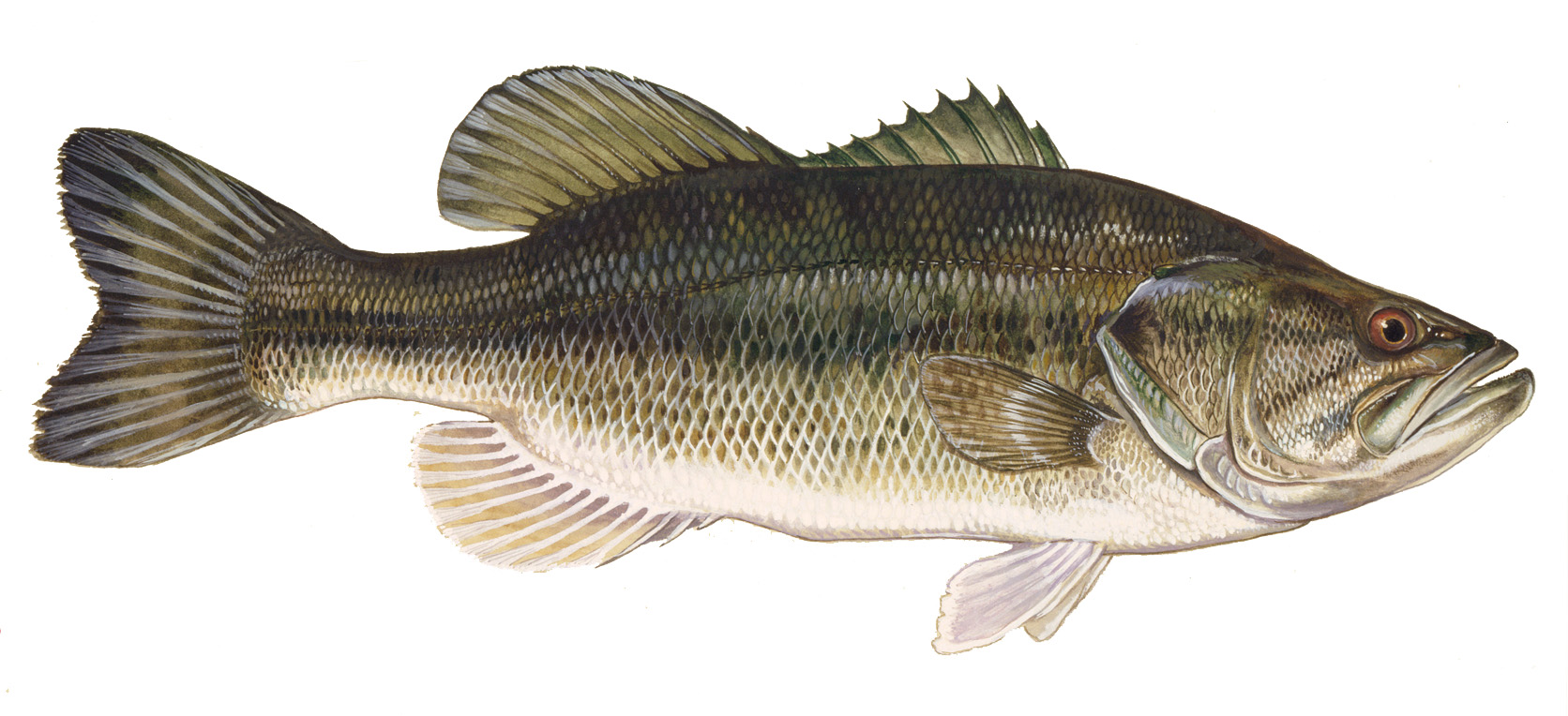 Fish identification largemouth bass fishing basics for Pictures of big fish